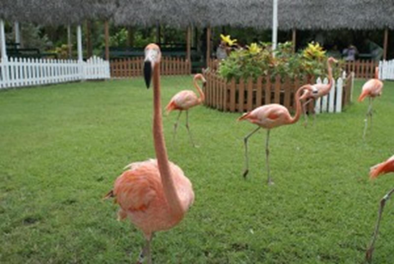 Get up close and personal with flamingos at the Ardastra Gardens, Zoo and Conservation Center