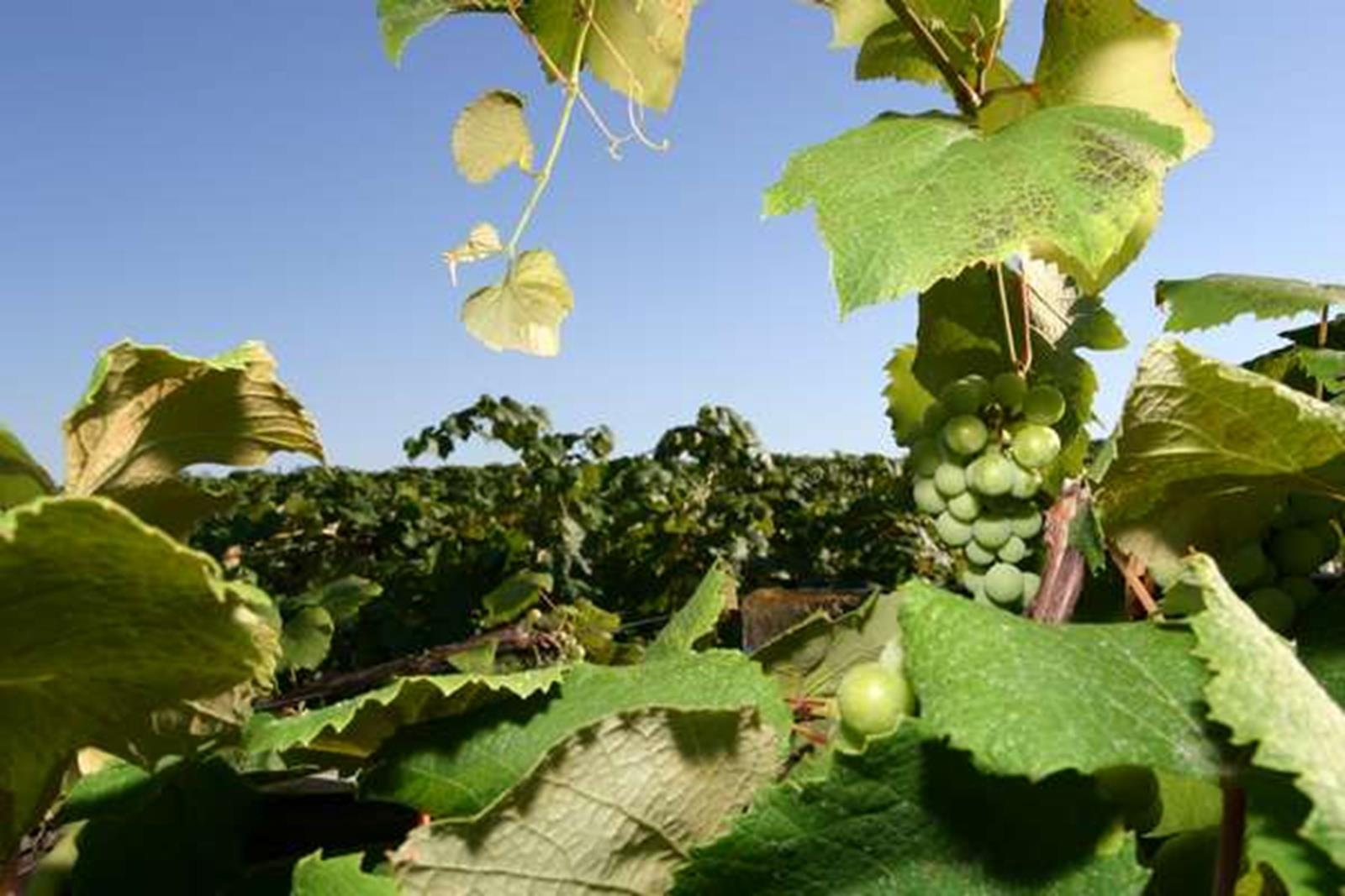 Nauvoo Grapes