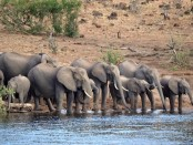 Elephans drinking at a river