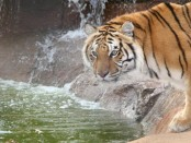 Tiger drinking water from a river